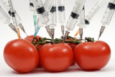 tomates-transgenicos
